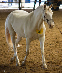 STOCK - 2014 Andalusian Nationals-183