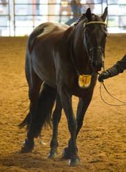 STOCK - 2014 Andalusian Nationals-207 by fillyrox