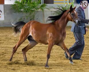 STOCK - 2014 Arabian Gala-32 by fillyrox