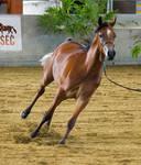 STOCK - 2014 Arabian Gala-31 by fillyrox