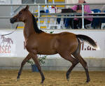 STOCK - 2014 Arabian Gala-109 by fillyrox