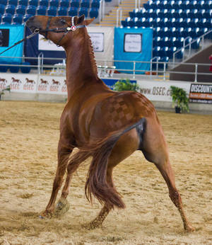 STOCK - 2014 Arabian Gala-217