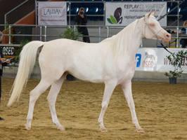 STOCK - 2014 Arabian Gala-337 by fillyrox