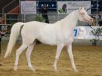 STOCK - 2014 Arabian Gala-337