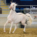STOCK - 2014 Arabian Gala-333