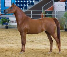 STOCK - 2014 Arabian Gala-318 by fillyrox