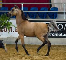 STOCK - 2014 Arabian Gala-391