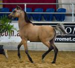 STOCK - 2014 Arabian Gala-391 by fillyrox