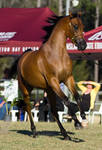 STOCK - 2014 Arabian Challenge-17