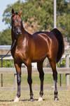 STOCK - 2014 Arabian Challenge-379