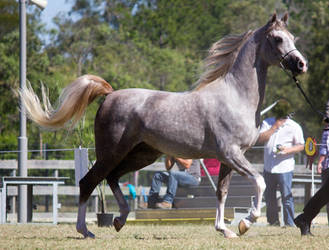 STOCK - 2014 Arabian Challenge-398 by fillyrox