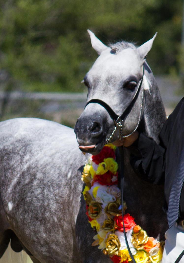 SNEAK PEAK - 2014 Top of the Range Arabians by fillyrox