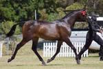 STOCK - 2014 TotR Arabians-98
