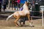 STOCK - 2014 TotR Arabians-91