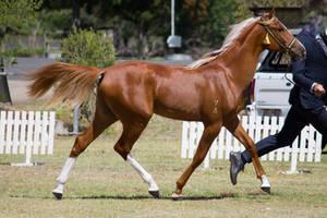 STOCK - 2014 TotR Arabians-73 by fillyrox