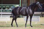 STOCK - 2014 TotR Arabians-61