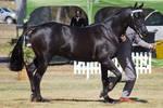 STOCK - 2014 TotR Arabians-55