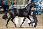 STOCK - 2014 TotR Arabians-52