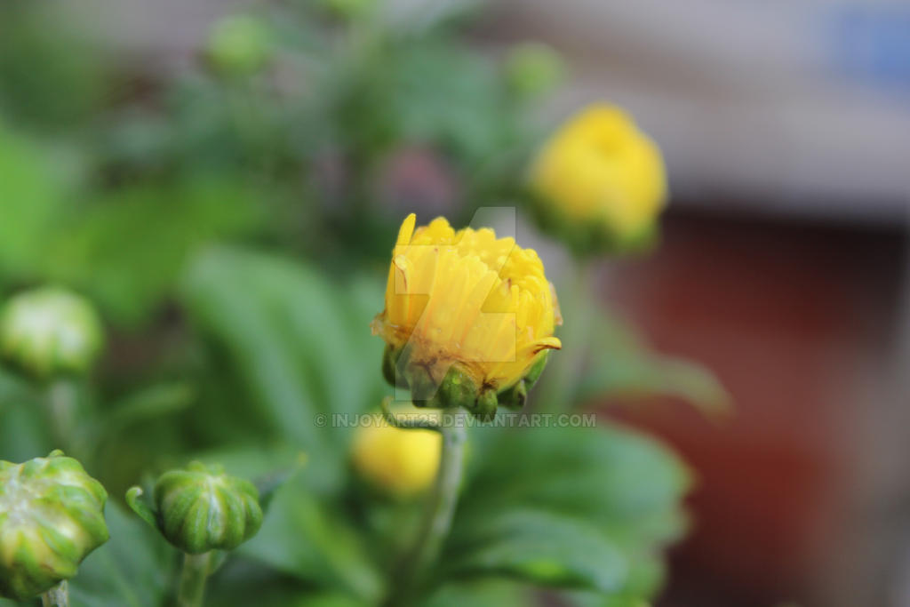 Yellow flower we called chamanthi in rain by injoyart25 on deviantart yellow flower we called chamanthi in rain by injoyart25 mightylinksfo