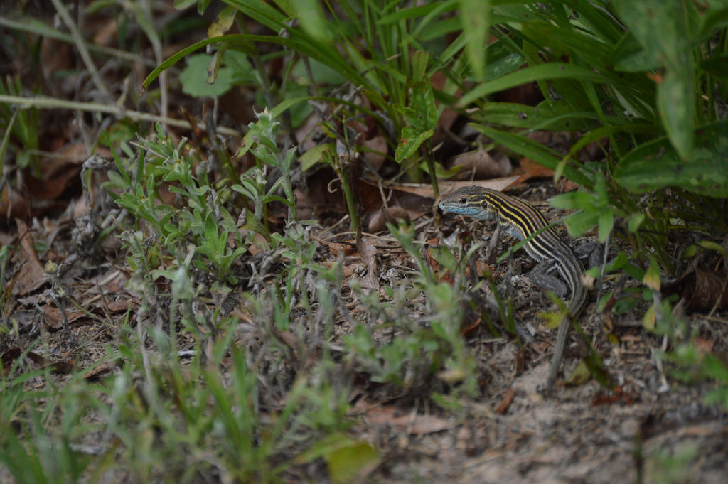 Kitty Hawk Lizard by SkepticRaven