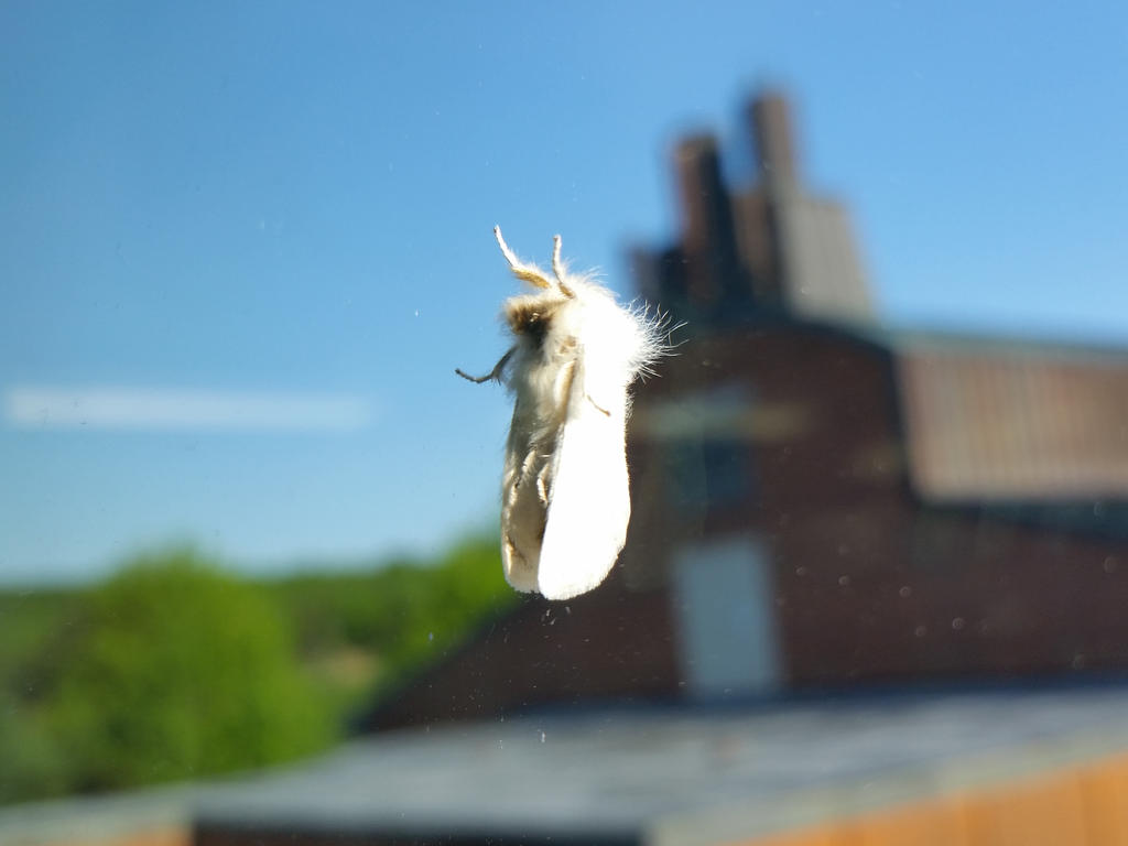 Fuzzy Sleeping White Moth by SkepticRaven