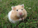 Peaches the hamster