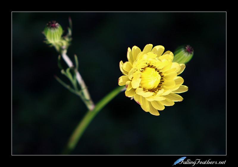 Wildflower by FallingFeathers