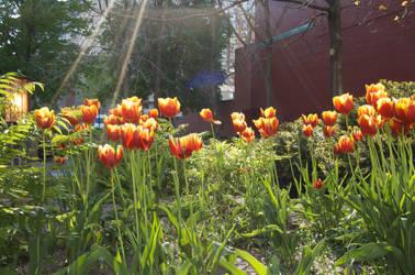 Tulips behind Toronto City Hal by gOOpie