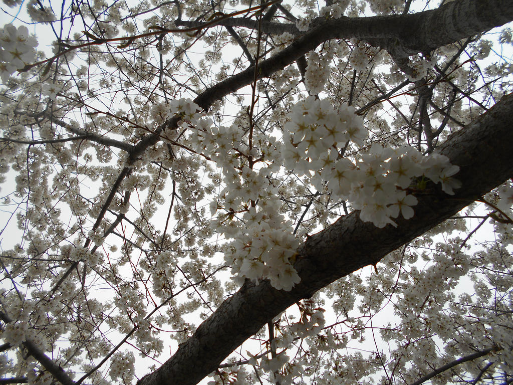 Blossom Tree, Maybe by Jieikobu