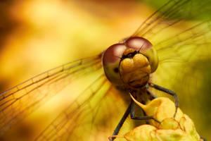 Dragonfly by Amaviael