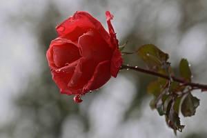 november rose 2013 by organicvision