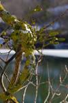 mistletoe and Ice