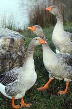 Watch Geese