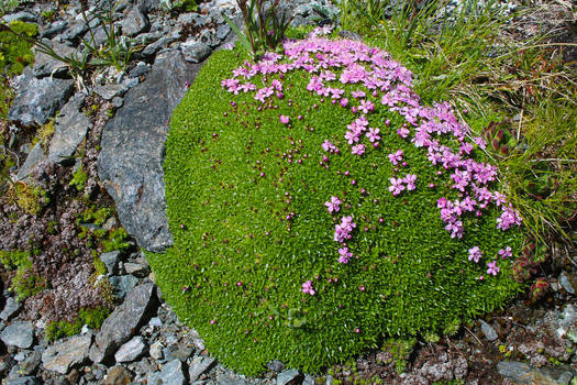 Alpine Rock-Jasmine