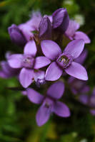 a herbaceous biennial flowering plant by organicvision