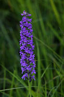 fragrant orchid by organicvision