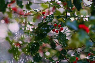 Rince away the Holly by organicvision