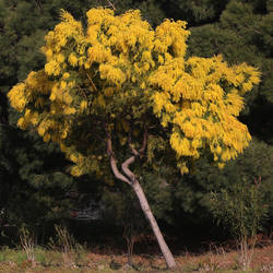 Mimosa in Bormes by organicvision