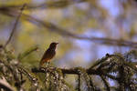 Female Redstart by organicvision