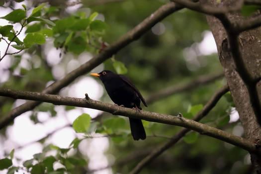 Curious as a Black Bird