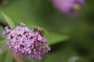 Bee in a Butterfly Bush
