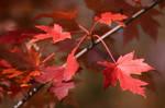 Acer in Autumn