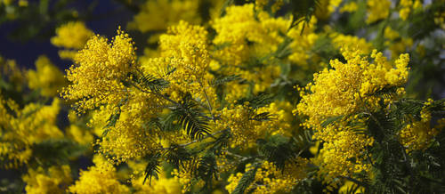 Mimosa in the Alps