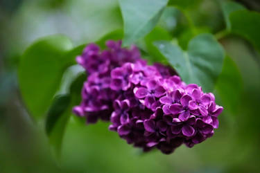 Just Another Lilac