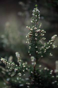 Tree Heather