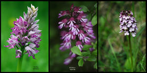 Orchis plus Orchis by organicvision