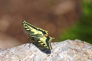 Machaon at the Top