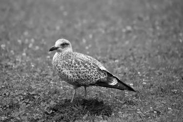 Gull on a Mole Hill