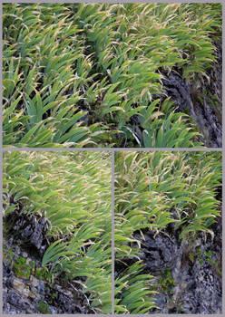 An Iris Grove