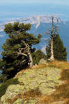 Mountain Pines by organicvision